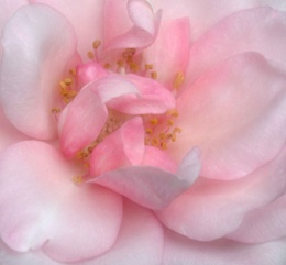 Dreamy Pink