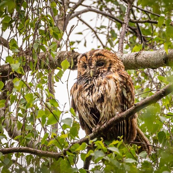 Tawny owl by soulsharer