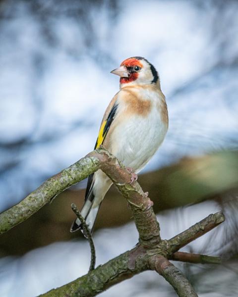 Goldfinch by soulsharer