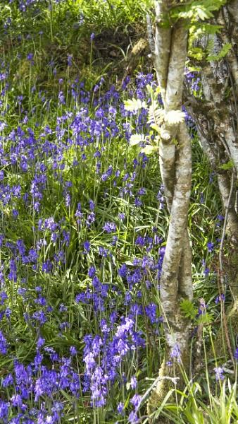 Bluebells & Leaves by Irishkate
