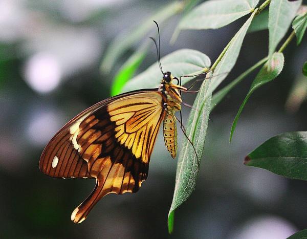 Mocker Swallowtail  (Papilio dardanus)  (best viewed large) by gconant