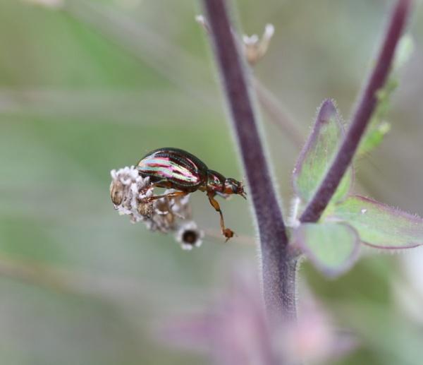 Lavender Beetle by beckybookins