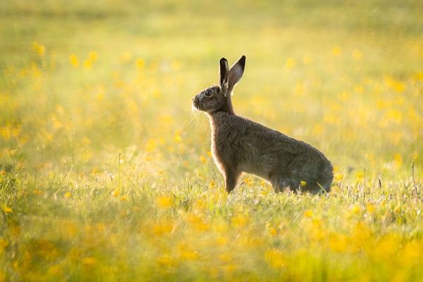 Backlit Brown Hare by BydoR9