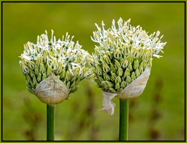 Allium Nigrum by mac