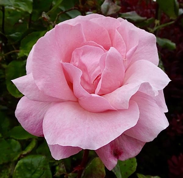 Queen Elizabeth Floribunda rose. by dixy