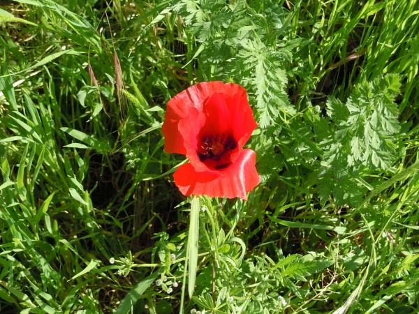 red poppy by laura1