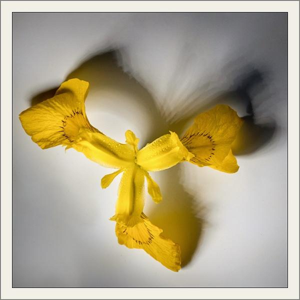 Iris Abstract by Acancarter