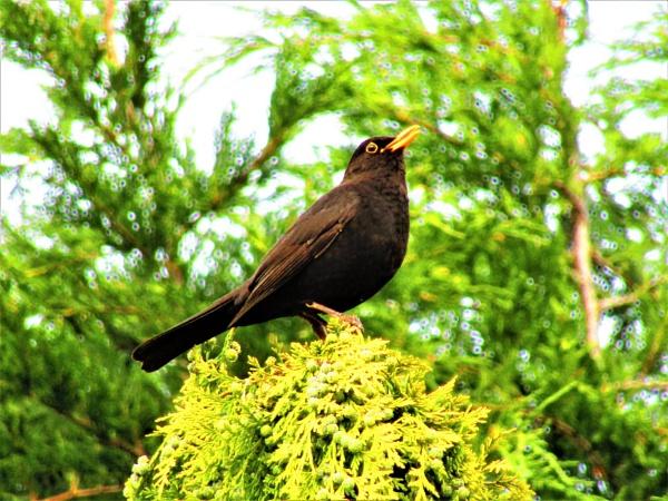 black bird by eagle1955