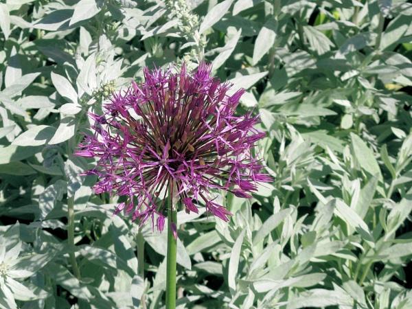 Allium & Artemisia by Steveo28
