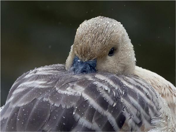 Whistling duck by Stevetheroofer