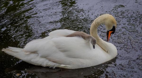 Swan and Cygnet by victorburnside