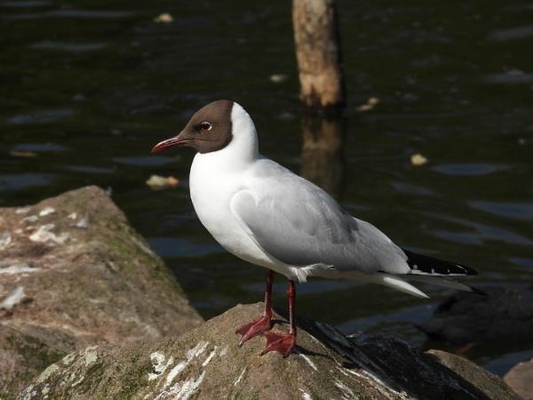 black headed gull by colin2019