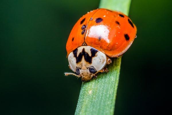 Chinese Ladybug by aldasack1957