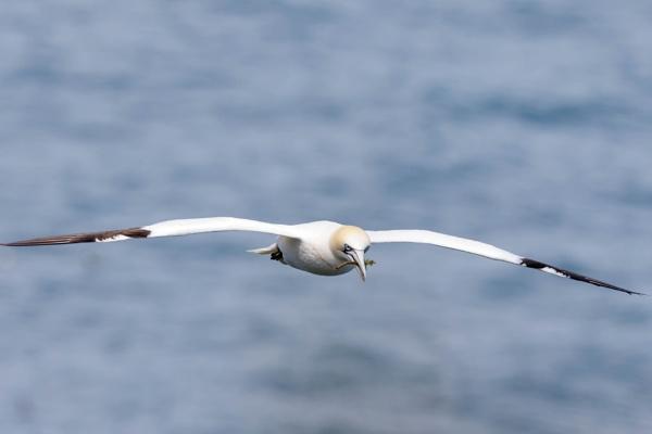 Gannet by nobby1