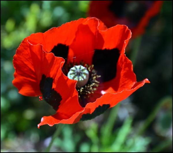 the poppy by graceland