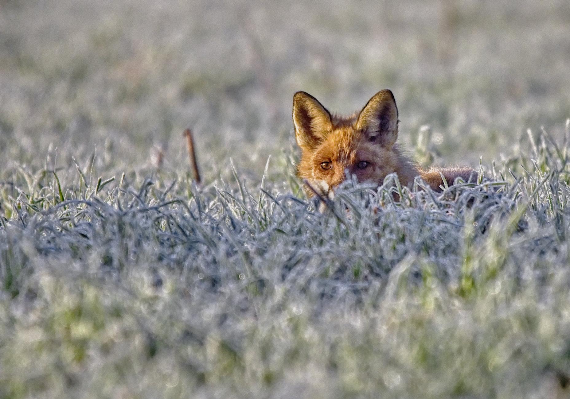 Fox in Espoo 2