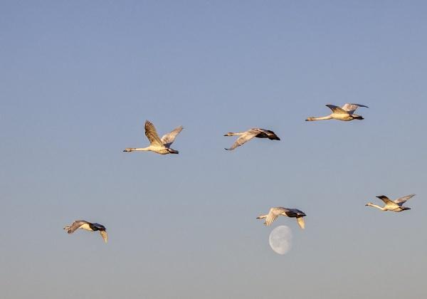 Whooper swans in Espoo 4 by hannukon