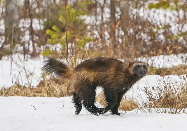 Wolverine in Lieksa 3 by hannukon