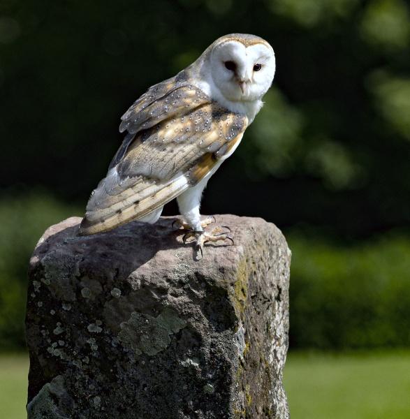 Barn Owl by Janetdinah