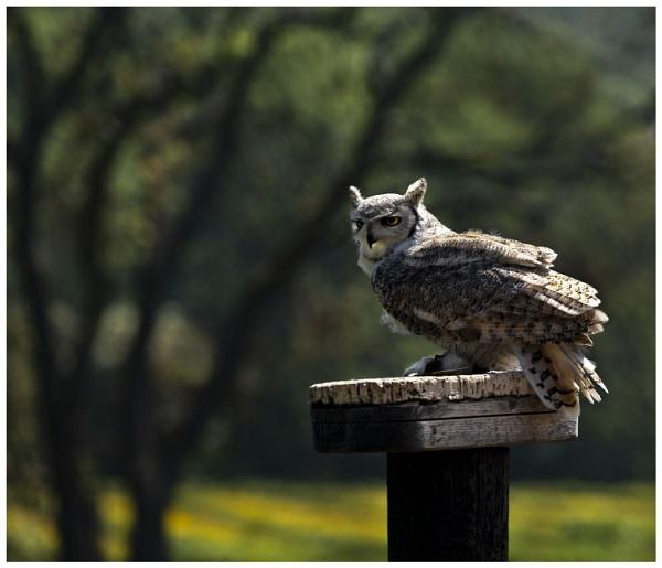Eagle Owl by Janetdinah