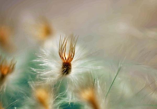 Gazania seed by littleflea