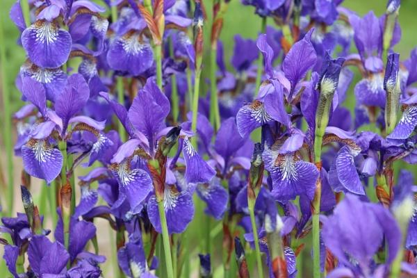 Iris by loves2travel