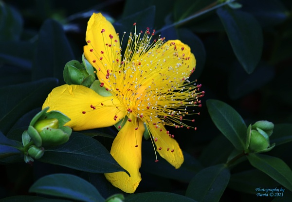 Chinese St John\'s Wort by youcantoo