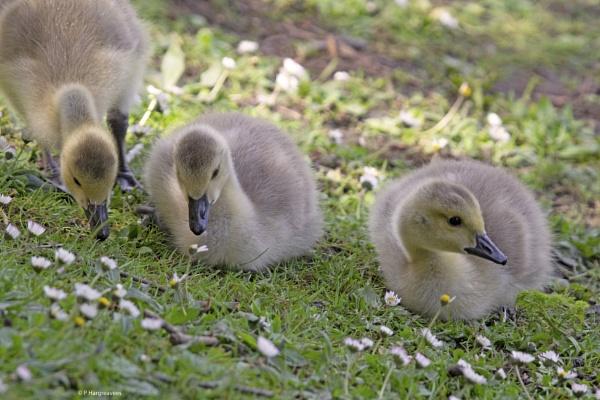 goslings by snookerball