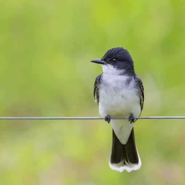 Eastern Kingbird by TDP43