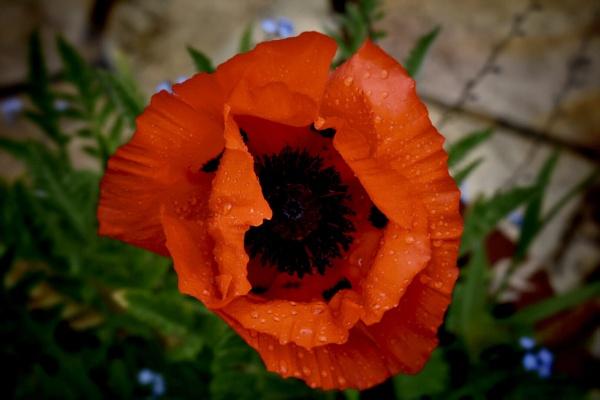 Poppy in a pot by Kaxxie