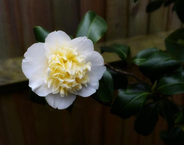 Camellia beauty by Kaxxie