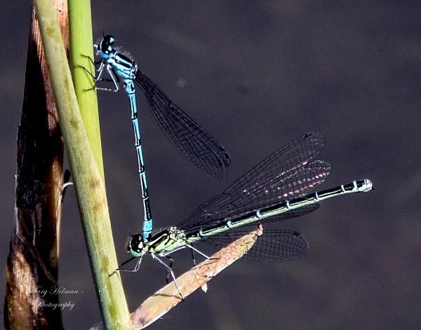 Dragon flies by margymoo