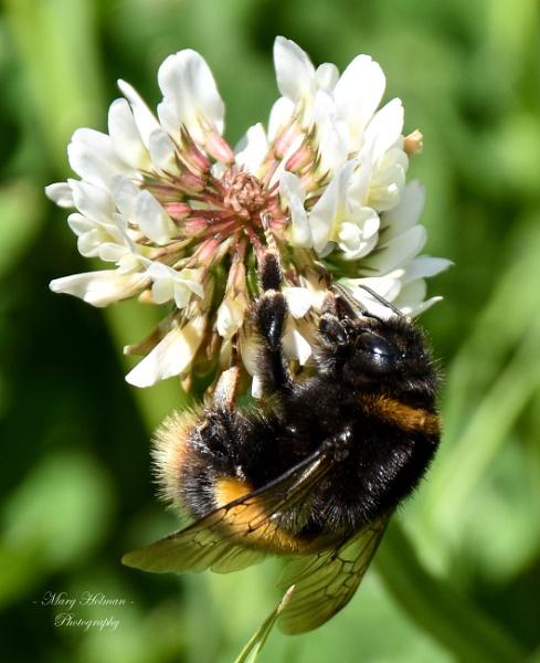 Honey bee by margymoo