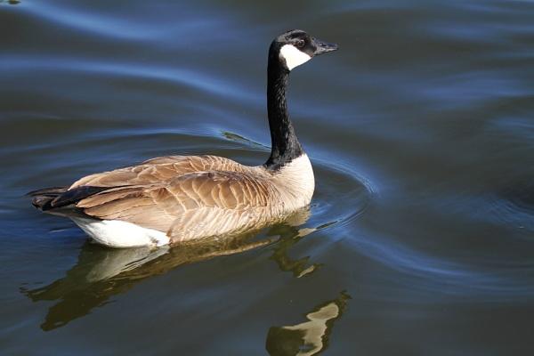 Duck, duck, GOOSE by madeinbrooklyn