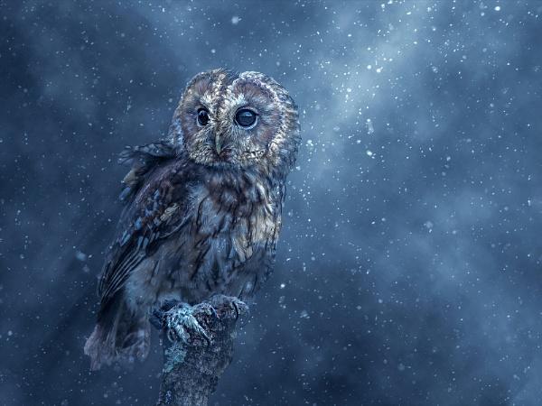 TWANY OWL IN BLIZZARD by gentry3951