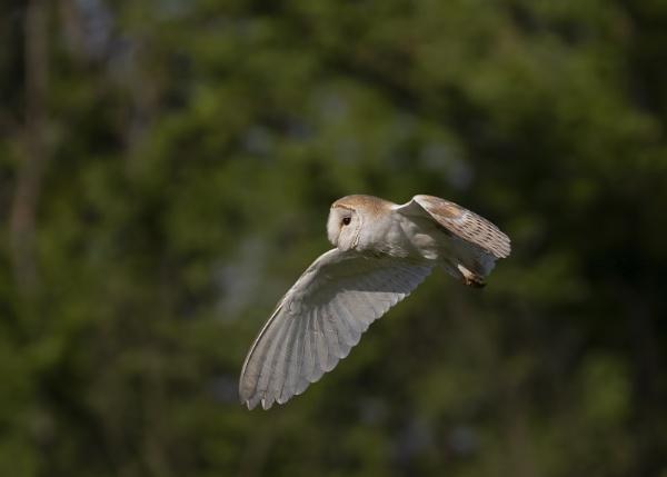 Barn Owl (tyto alba) by ashsteve