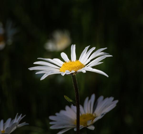 Oxeye Daisy by mark2uk