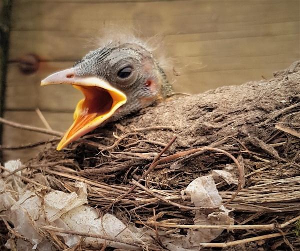 Baby Blackbird. by rosej
