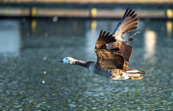 Tatty Goose by chensuriashi