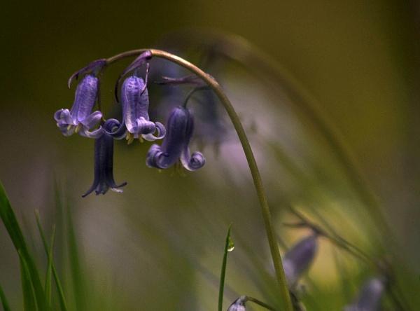 Bluebells by viscostatic