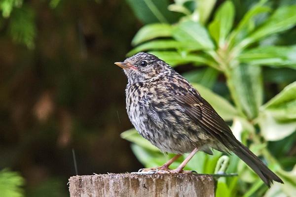 A Dunnock fledgling. by johnsd