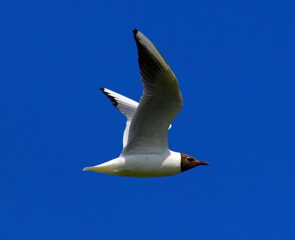Black-headed gull by oldgreyheron