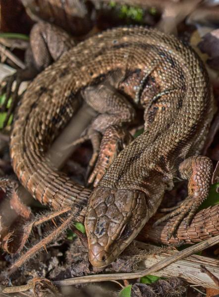 Common Lizard by DaveCole