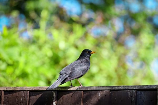 Blackbird by kelvin7