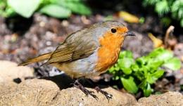 Delightful Robin