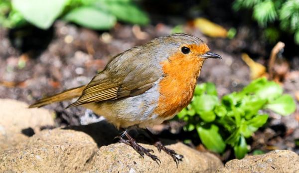 Delightful Robin by kelvin7