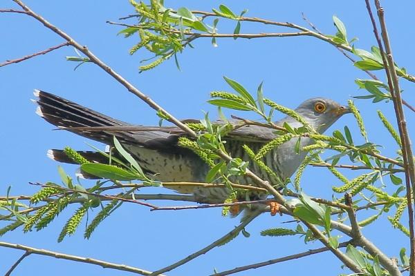 Cuckoo! by TerryMcK