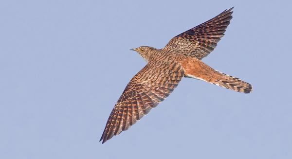 Cuckoo by targetman