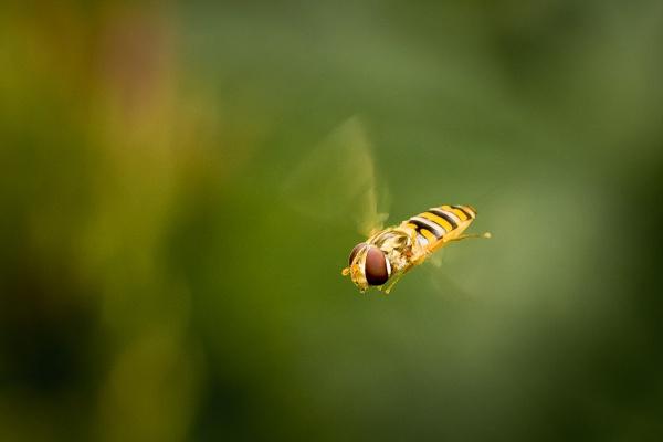 Hoverfly by JackAllTog