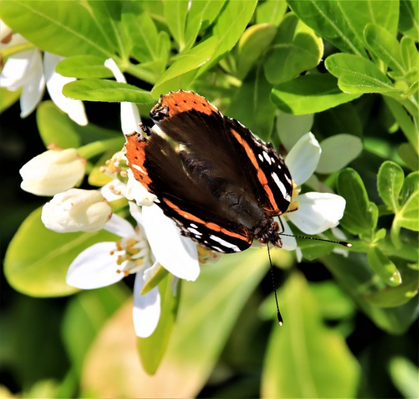 A Red Admiral. by mike9005